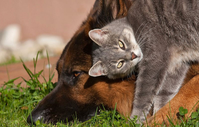 так картинки дружба котов с собаками кошачьего