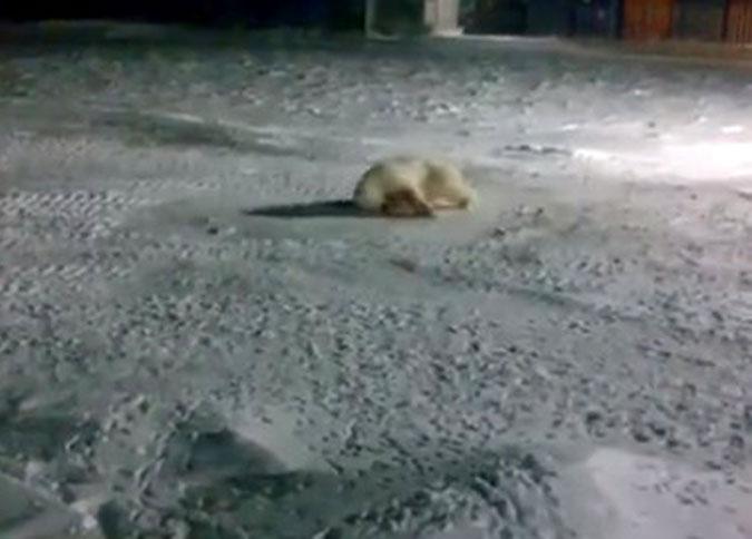 Накажут ли у*бка, изувечившего белую медведицу?!