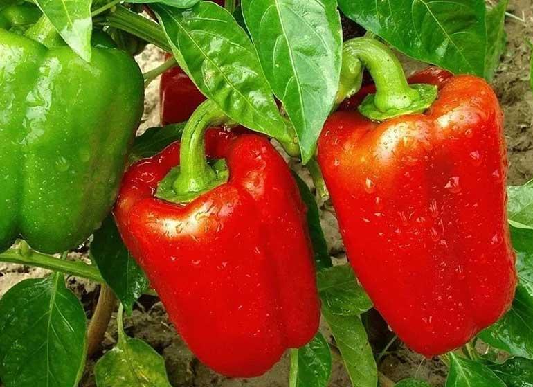 Чем удобрять сладкий перец? Два удобрения, которые обеспечат урожай