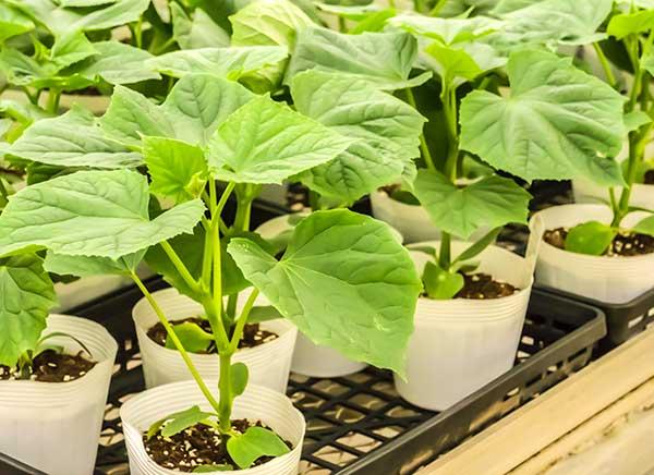 Как вырастить крепкую рассаду огурцов и собрать отличный урожай
